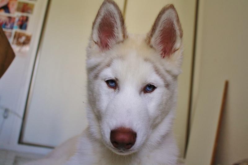 Lo-Jack Alias Ghost (Sibirian husky) Img_2511