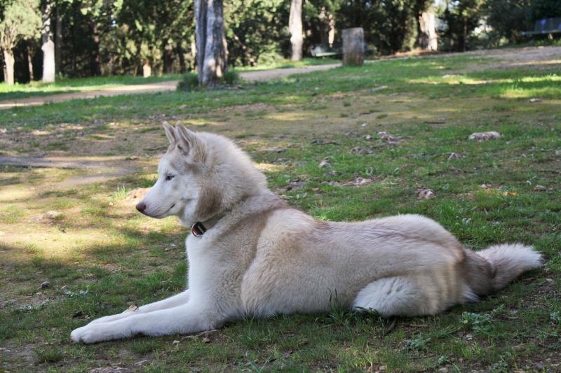Lo-Jack Alias Ghost (Sibirian husky) - Page 3 Img_3012
