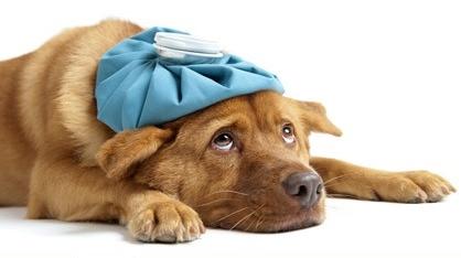 Fieber bei Hunden Gutebe10