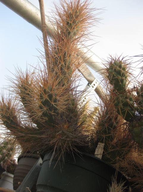 Tephrocactus alexanderi var. halophilus T_alex10