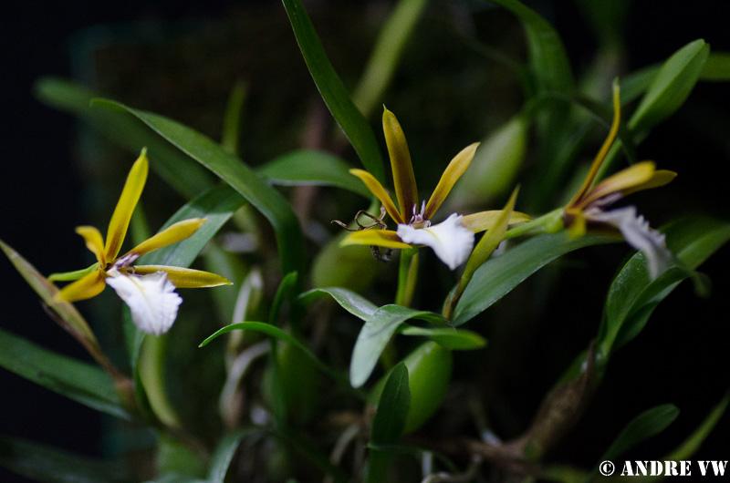Miniatur-Orchideen Teil 3 - Seite 2 Dinema10