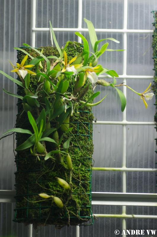 Miniatur-Orchideen Teil 3 - Seite 2 Dinema14