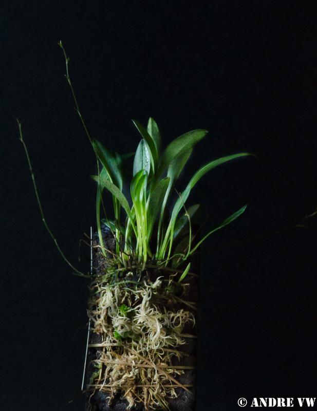 Miniatur-Orchideen 2. Teil - Seite 21 Image16
