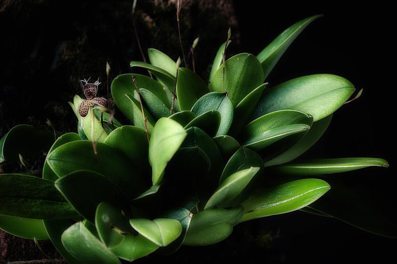 Stelis (Pleurothallis) ornata Image22