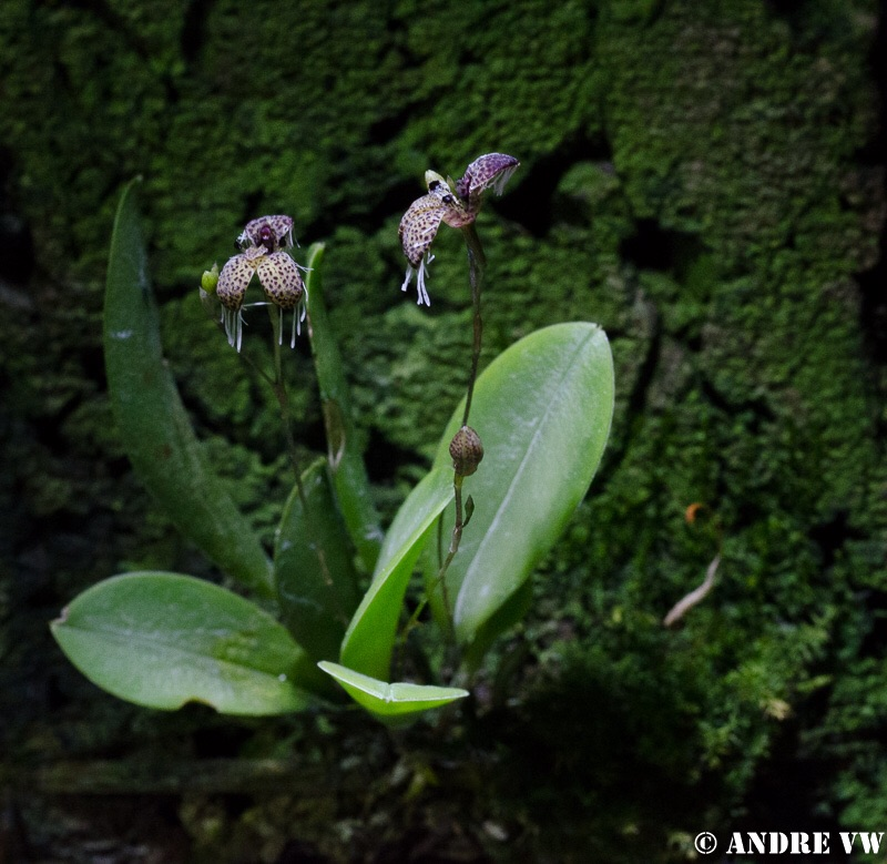 Stelis (Pleurothallis) ornata Image23