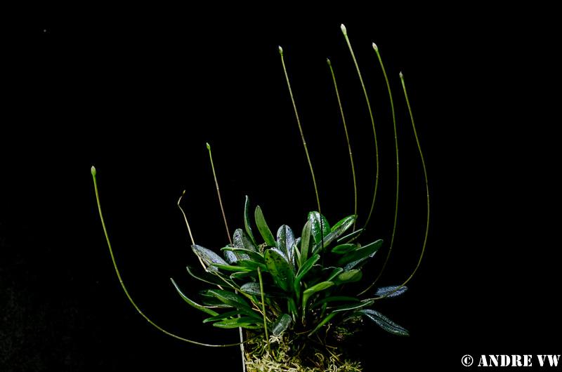Miniatur-Orchideen Teil 3 Image24
