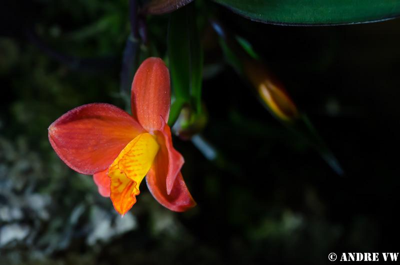 Miniatur-Orchideen Teil 3 - Seite 3 Image26