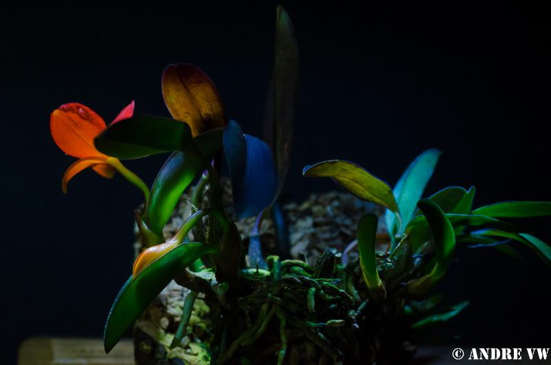 Miniatur-Orchideen Teil 3 - Seite 3 Image27