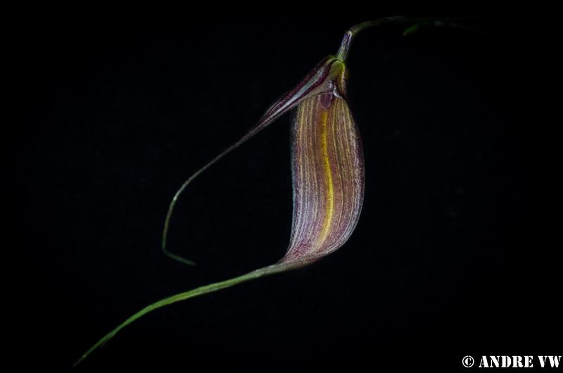 Miniatur-Orchideen Teil 3 - Seite 3 Masd_p11