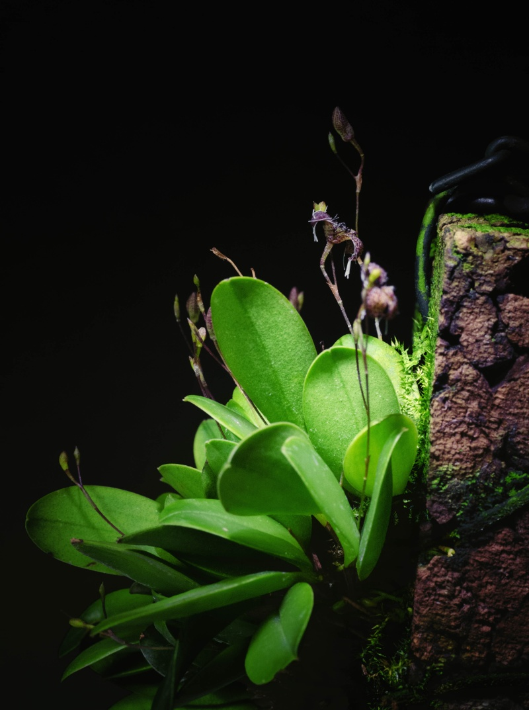 Vertrockner Knopfen an Trisetella cordeliae und Stelis ornata Stelis12