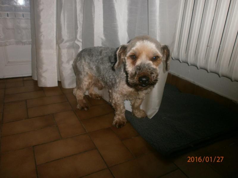DOMINO, mâle type yorkshire, 7 ans P1270111