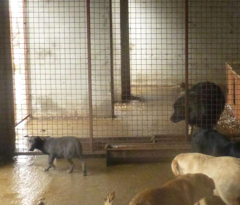 chien109 - CHIEN109, X TECKEL F, née ?, taille petite (Fourrière BACKA) - URGENT 10910