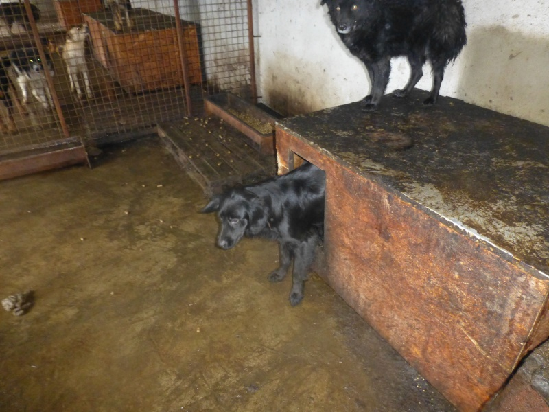 chien89 - SHAMTI, F-Type Mudi, taille moyenne, 15 kg, née 2012 (BACKA) Pris en charge SPA DU 47 878911