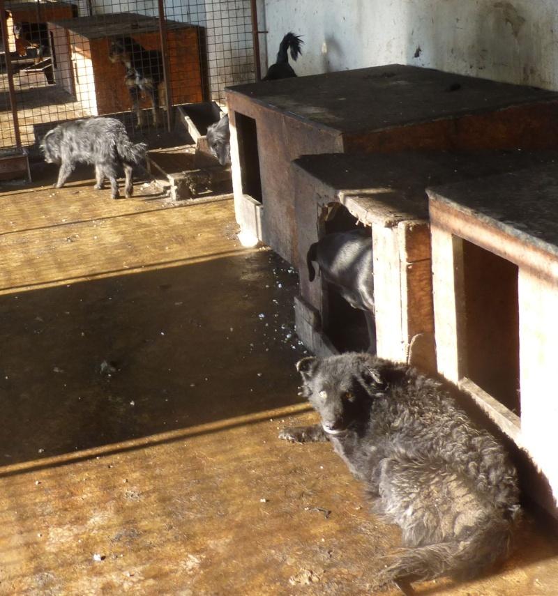 chien89 - SHAMTI, F-Type Mudi, taille moyenne, 15 kg, née 2012 (BACKA) Pris en charge SPA DU 47 8911