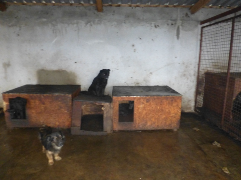 chien89 - SHAMTI, F-Type Mudi, taille moyenne, 15 kg, née 2012 (BACKA) Pris en charge SPA DU 47 P1210916
