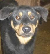 chien 39 - TAMS, M-X, taille moyenne, env. 23 kg, né 2012 (Fourrière BACKA) Pris en charge Animals Rescue - Page 2 Tams10