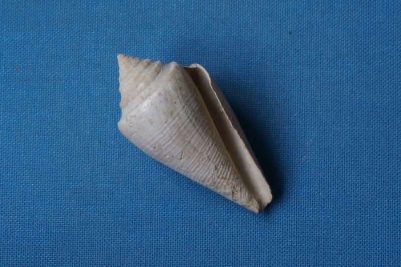 Conidae - † Conus (Leptoconus) derelictus (Deshayes, 1865) - Lutétien (Damery)  00111