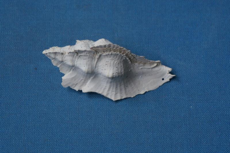 Muricidae - † Pterynotus tripteroides Lamarck, 1822  (GA 169-01) 00112