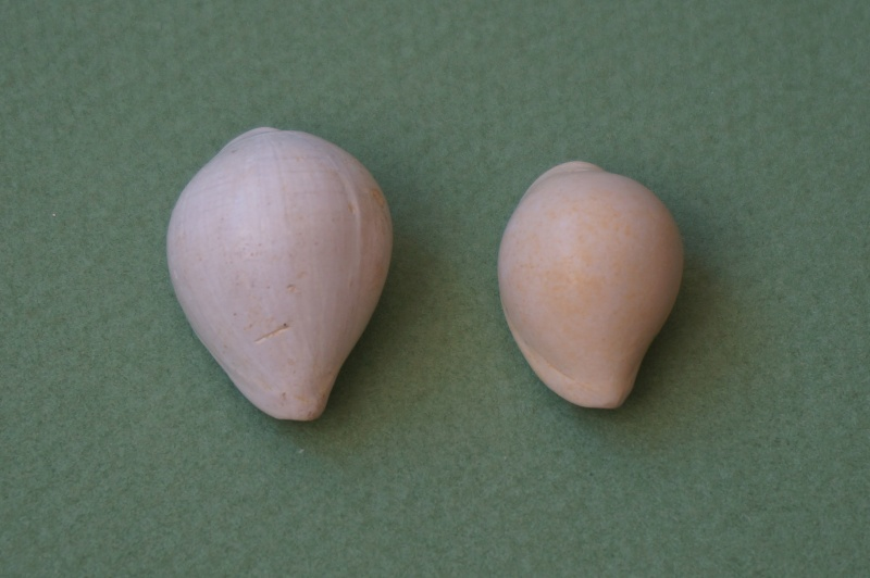 Cypraeidae - † Cypraea inflata Lamarck, 1802 (GA 162-07) - Lutétien & Bartonien inf. 00120