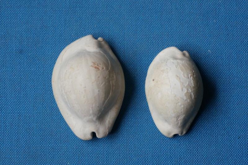 Cypraeidae - † Semicypraea koninckii (ROUAULT, 1850) (GA 162-22) - Lutétien inf. (Bassin Parisien) 00121