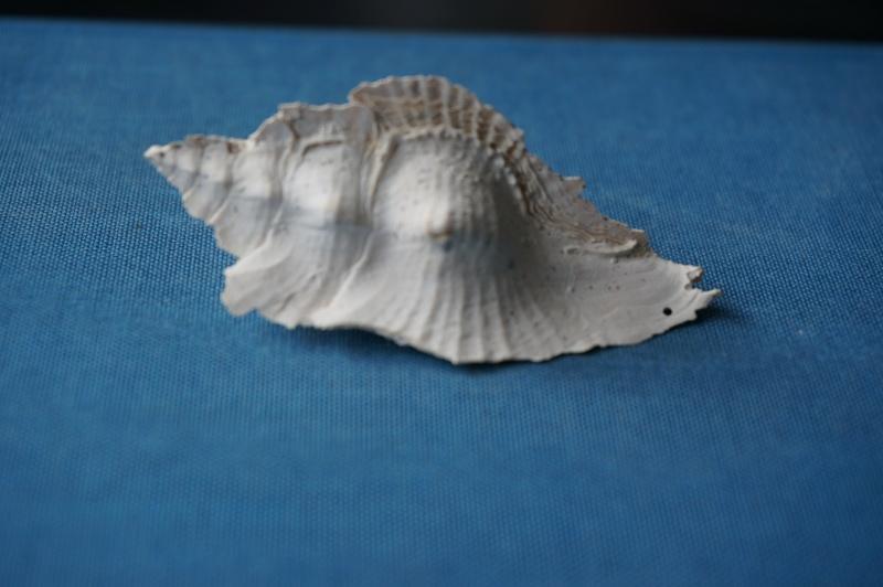 Muricidae - † Pterynotus tripteroides Lamarck, 1822  (GA 169-01) 00211