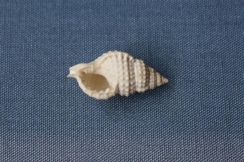 Personidae - † Eutritonium multigraniferum Deshayes, 1835 - Lutétien (Bassin Parisien) 00212