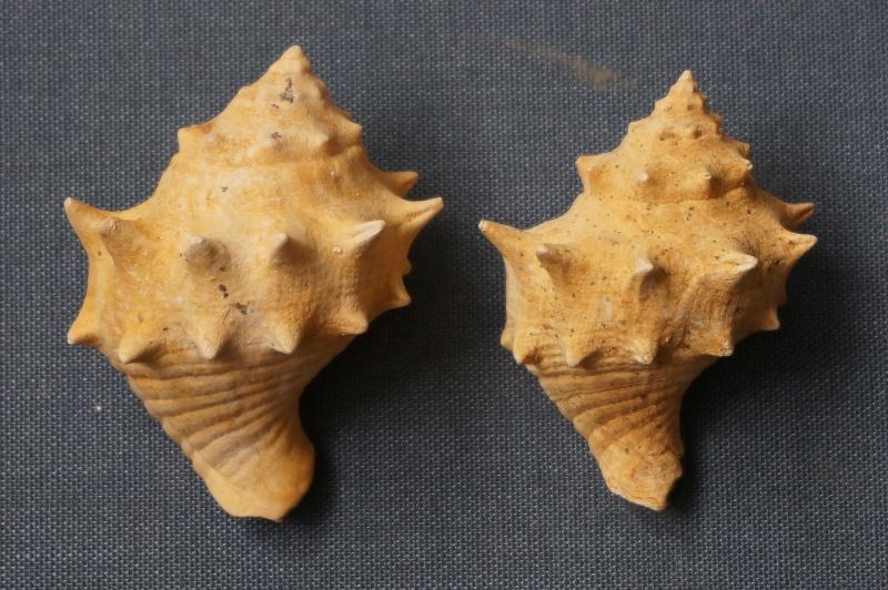 Melongenidae - † Melongena minax Solander in Brander, 1766 (GA 191-01) - Bartonien inf. 00214