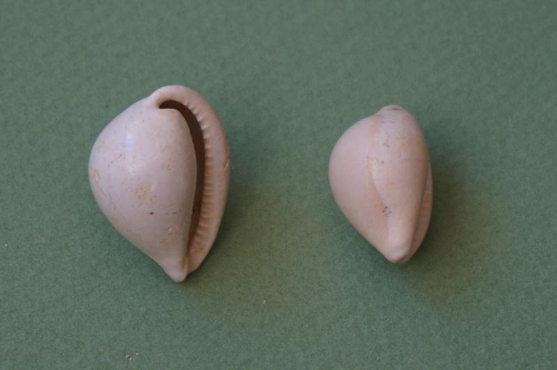 Cypraeidae - † Cypraea inflata Lamarck, 1802 (GA 162-07) - Lutétien & Bartonien inf. 00221