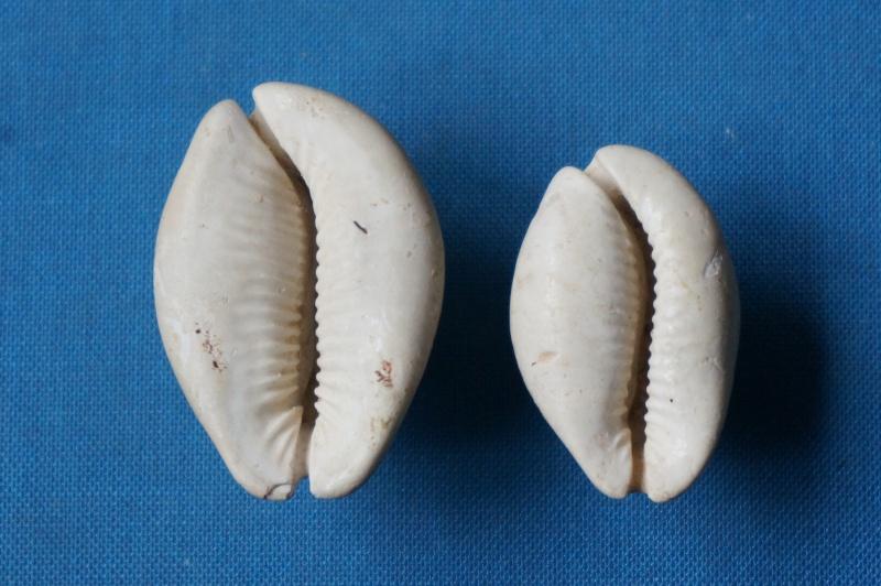 Cypraeidae - † Semicypraea koninckii (ROUAULT, 1850) (GA 162-22) - Lutétien inf. (Bassin Parisien) 00318
