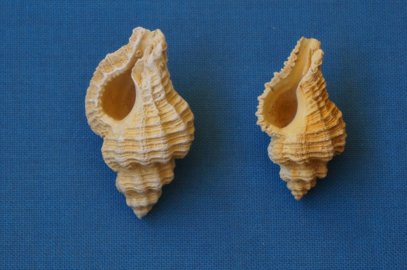 Muricidae - † Homalocantha subrudis d'Orbigny 1850 GA 169-13 - Bartonien inf. (Auvers sur Oise 60) 00412