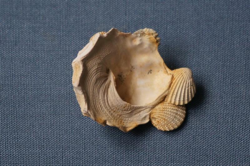 Xenophoridae - † Xenophora cumulans De Brongniart, 1823 (GA 69-01) - Bartonien 00414