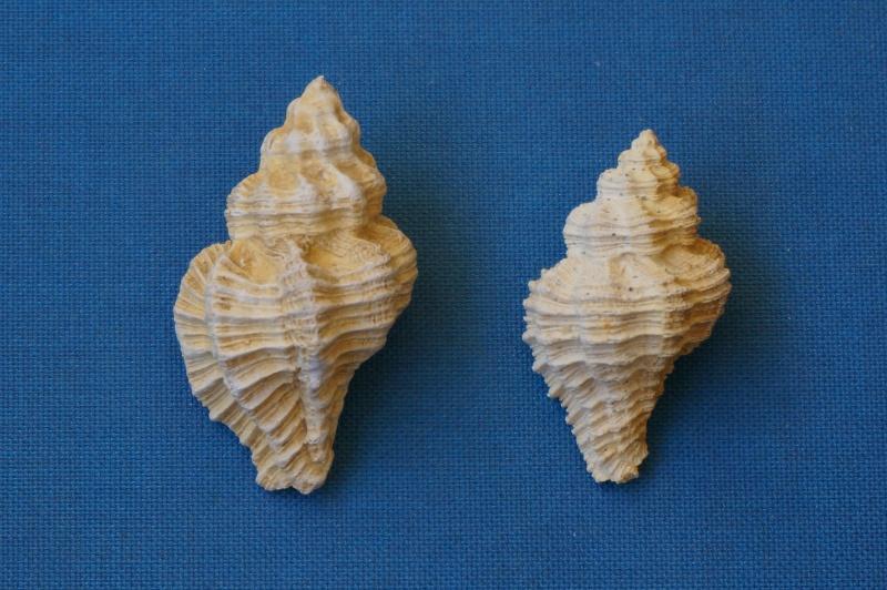 Muricidae - † Homalocantha subrudis d'Orbigny 1850 GA 169-13 - Bartonien inf. (Auvers sur Oise 60) 00511