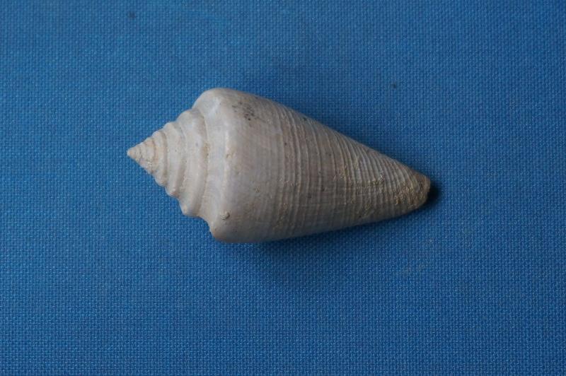 Conidae - † Conus (Leptoconus) derelictus (Deshayes, 1865) - Lutétien (Damery)  00512