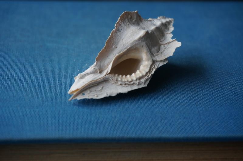 Muricidae - † Pterynotus tripteroides Lamarck, 1822  (GA 169-01) 00613