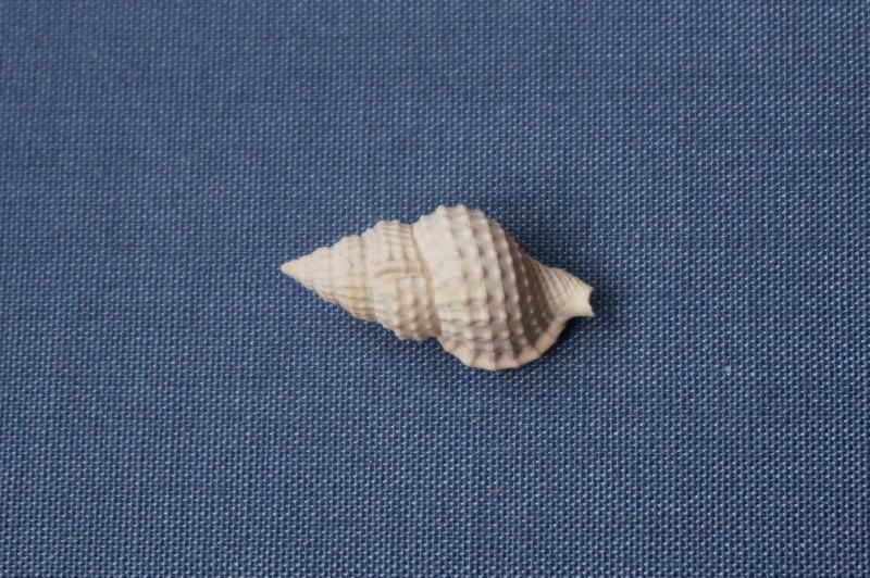Personidae - † Eutritonium multigraniferum Deshayes, 1835 - Lutétien (Bassin Parisien) 00614
