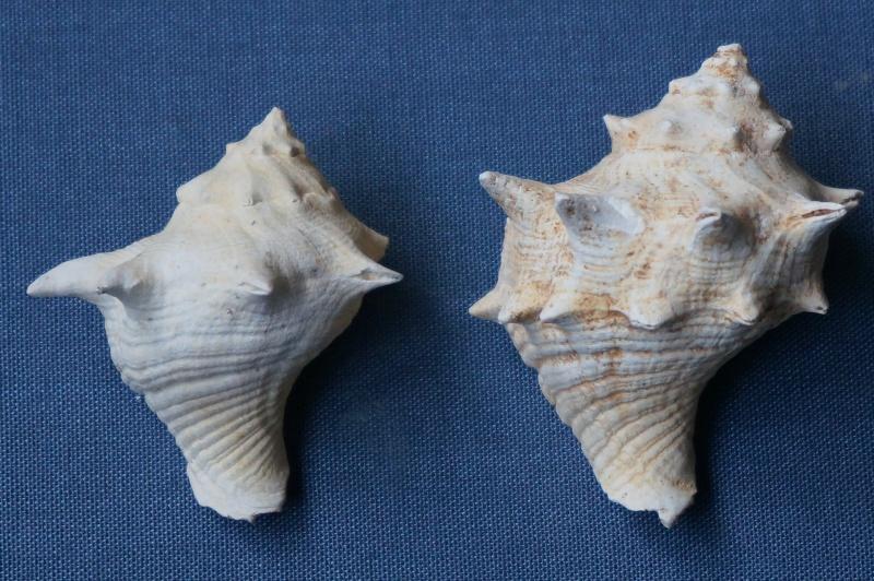 Melongenidae - † Melongena minax Solander in Brander, 1766 (GA 191-01) Freak (GA 191-01) - Bartonien inf. 00617