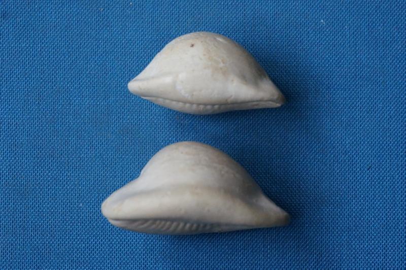 Cypraeidae - † Semicypraea koninckii (ROUAULT, 1850) (GA 162-22) - Lutétien inf. (Bassin Parisien) 00621