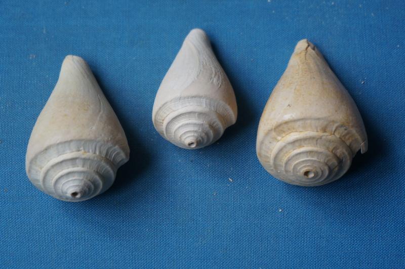 Conidae - † Conus sulciferus (Deshayes, 1835) 00710