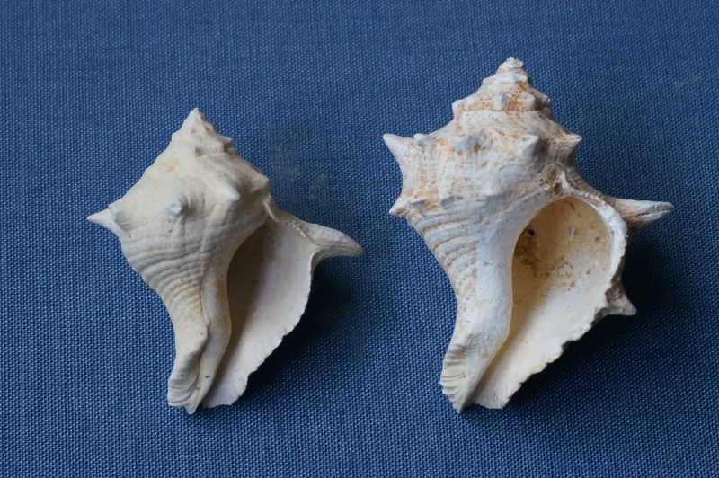 Melongenidae - † Melongena minax Solander in Brander, 1766 (GA 191-01) Freak (GA 191-01) - Bartonien inf. 00814