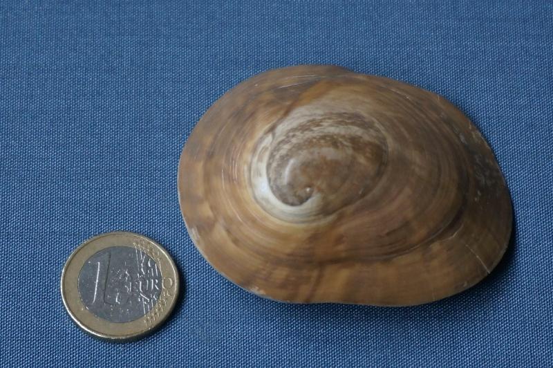 Neritidae - † Velates schmiedeli Chemnitz, 1791. (GA 40-01) - (Soissonnais) 00817