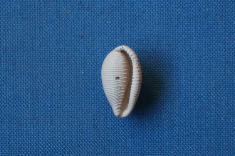 Cypraeidae - † Eucypraedia (s.str.) sulcosa (Lamarck, 1802) ou Eucypraedia (s.str.) vendrestensis (Cossmann & Pissarro, 1913) - Bartonien inf. (à confirmer)  00821