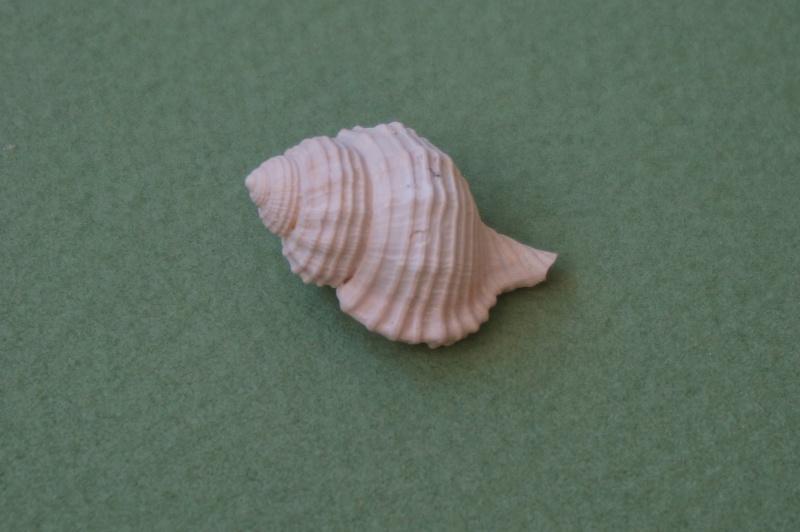 Personidae - † Eutritonium piraster Lamarck, 1803 - Lutétien (Bassin Parisien) 00913