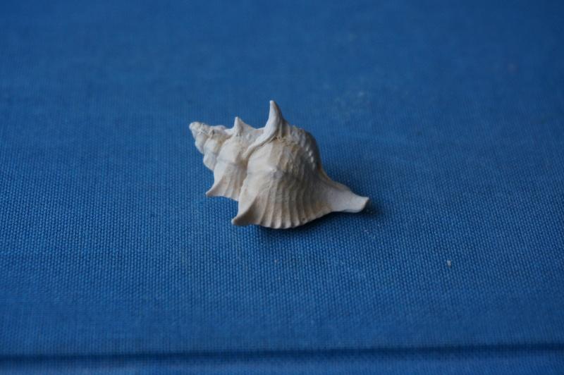 Muricidae - † Pterynotus crenulatus Roding 1798 GA 169-08 - Bartonien inf. 01011