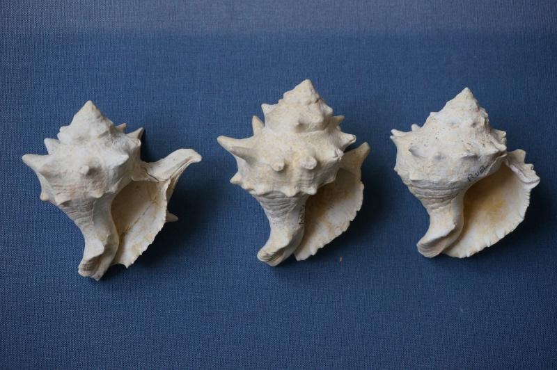 Melongenidae - † Melongena minax Solander in Brander, 1766 (GA 191-01) - Bartonien inf. 01014
