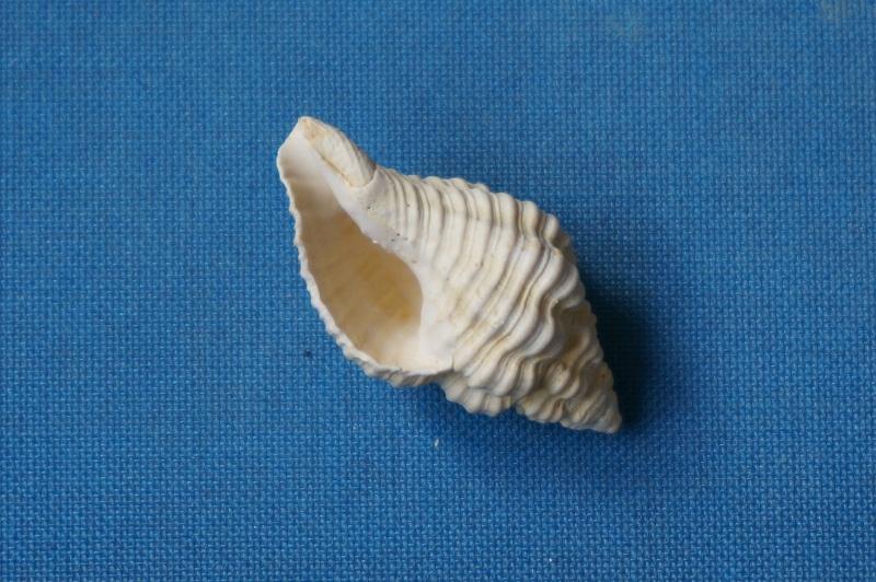 Buccinidae - † Janiopsis parisiensis Deshayes, 1835 (GA 195 bis-2) - Bartonien inf. 01016