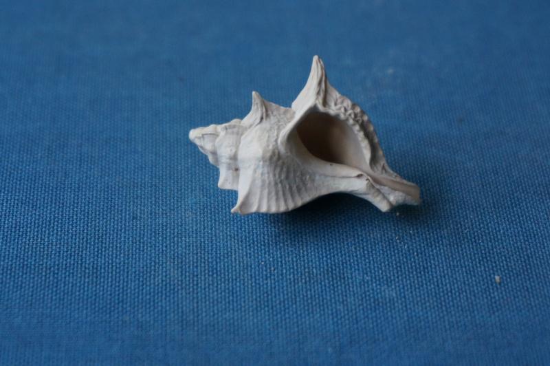 Muricidae - † Pterynotus crenulatus Roding 1798 GA 169-08 - Bartonien inf. 01111