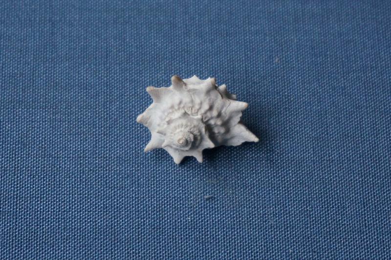 Turbinidae - † Delphinula Regleyi Deshayes, 1832 (GA 17-01) - Lutétien 01114