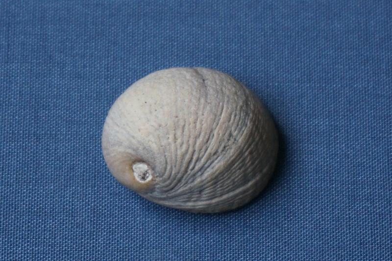 Neritidae - † Nerita angistoma Deshayes, 1825 - Bartonien inf. 01313
