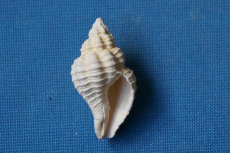 Buccinidae - † Janiopsis parisiensis Deshayes, 1835 (GA 195 bis-2) - Bartonien inf. 01315