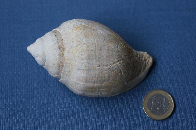 Melongenidae - † Sycostoma globatum (Deshayes, 1864) - Bartonien inf. 01411